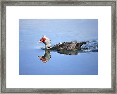 Ugly Duckling Framed Print by Penny Meyers