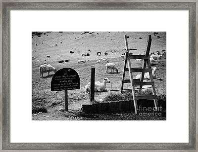 Ulster Way Footpath Wooden Stile And Flock Of Part Shorn Sheep In Fields In County Antrim Ireland Framed Print by Joe Fox