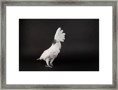 Umbrella Cockatoo Cacatua Alba Framed Print by Joel Sartore
