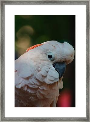 Umbrella Cockatoo Framed Print by Kris Napier