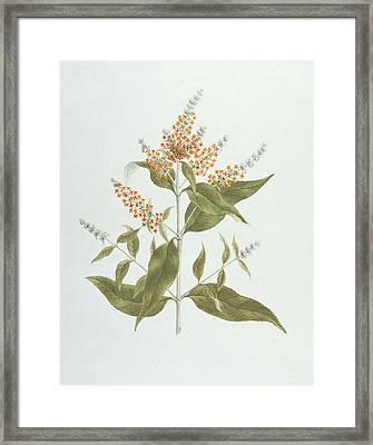 Umtar - Buddleia Polystachya Framed Print by James Bruce