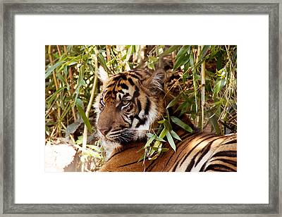 Under The Watchful Eye Of The Tiger Framed Print by Lindy Spencer