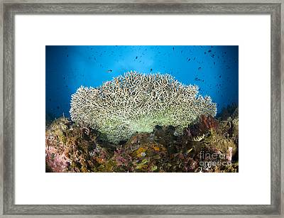 Underside Of A Table Coral, Papua New Framed Print by Steve Jones