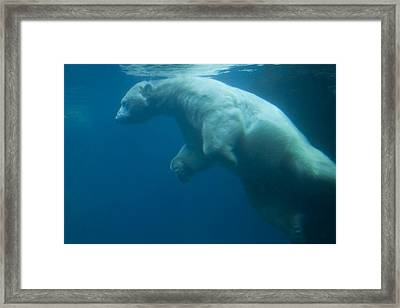 Underwater View Of A Polar Swimming Framed Print