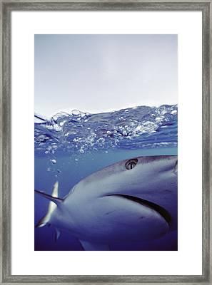 Underwater View Of Gray Reef Shark Framed Print by Bill Curtsinger