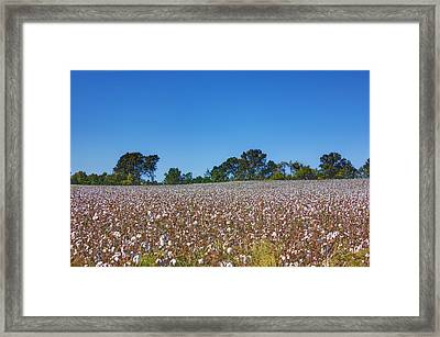 Union Grove Cotton Field Framed Print by Barry Jones