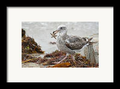 Seagull With Starfish Framed Prints