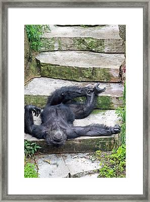 Up Close Lazy Chimp Framed Print by Lori Johnson