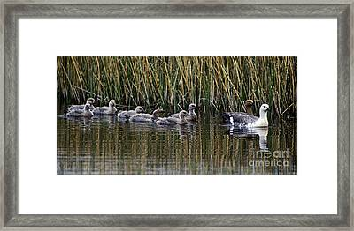Framed Print featuring the photograph Upland Geese - Patagonia by Craig Lovell