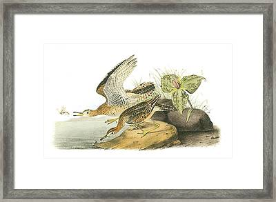 Upland Sandpiper Framed Print by John James Audubon