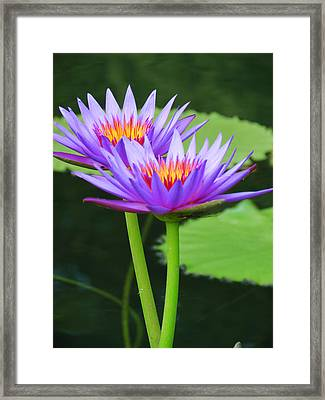 Upright Lilies Framed Print by Vijay Sharon Govender