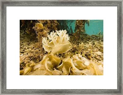 Upsidedown Jellyfish In Mangrove Lagoon Framed Print by Tim Laman