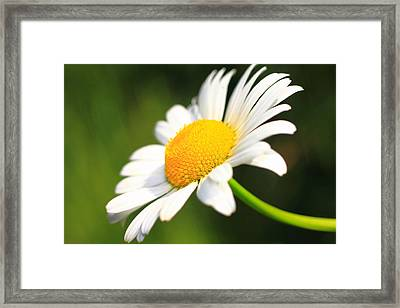 Upturned Daisy Framed Print