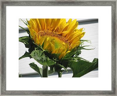 Upward Sunflower Framed Print by Amy Bradley