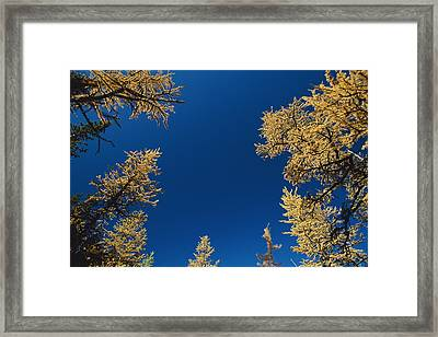Upward View Of Blue Sky And Conifer Framed Print by Raymond Gehman