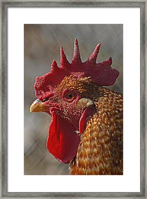 Urban Rooster Framed Print by Lisa Phillips