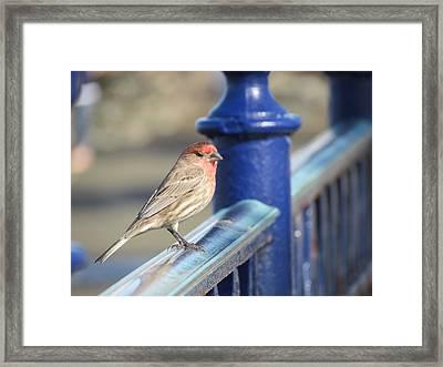 Urban Sparrow Framed Print
