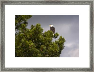 Usa, Oregon, Lake County, Bald Eagle (haliaeetus Leucocephalus) On Tree Framed Print by Gary Weathers