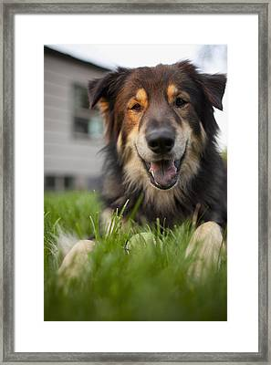 Usa, Vermont, Dorset, Portrait Of Cute Dog Laying On Lawn Framed Print by Noah Clayton