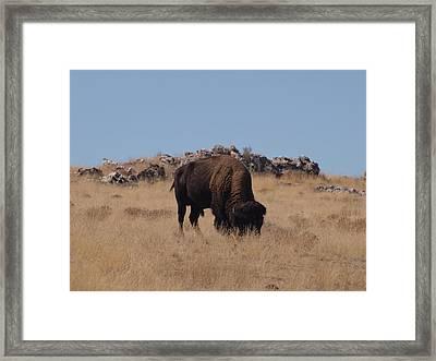Utah Bison Framed Print
