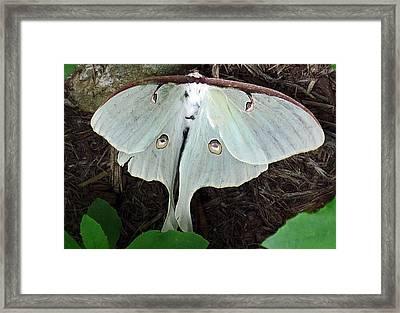 Va Moth Framed Print