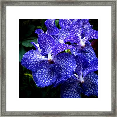 Vanda Orchids Framed Print by Shirley Sirois