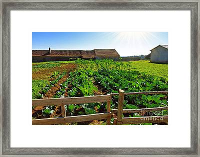 Vegetable Farm Framed Print by Carlos Caetano