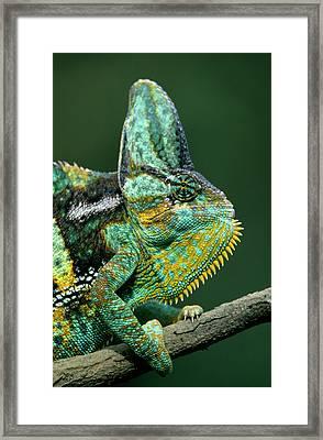 Veiled Chameleon Chamaeleo Calyptratus Framed Print by Ingo Arndt
