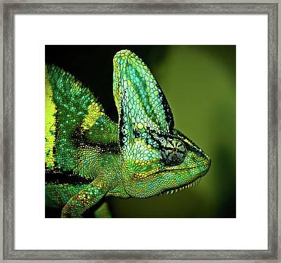 Veiled Chameleon Framed Print by Copyright By D.teil