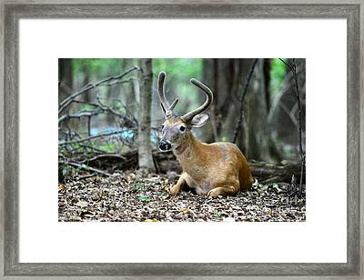 Velvet Buck At Rest  Framed Print