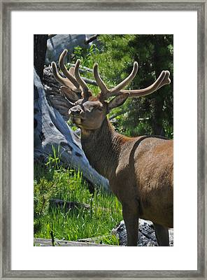 Velvet Prince Framed Print by Jonathan Whichard