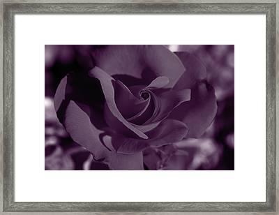 Velvet Rose Framed Print by Aidan Moran
