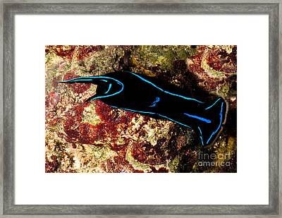 Velvet Sea Slug Framed Print by Dant� Fenolio