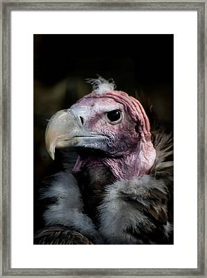 Vera The Vulture Framed Print by Peter Jenkins