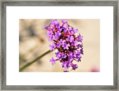 Framed Print featuring the photograph Verbena  by Puzzles Shum