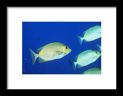 Fish Maze Framed Prints