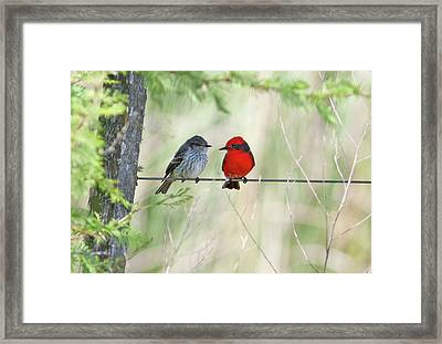 Vermilion Flycatcher In Love Framed Print by Edith Polverini