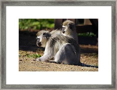 Vervet Monkeys  Framed Print by Alexandra Jordankova