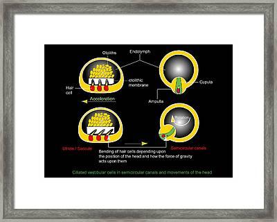 Vestibular Ciliated Cells, Diagram Framed Print