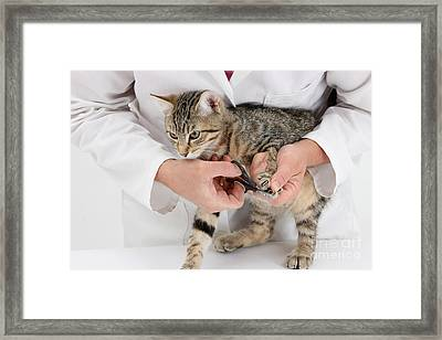 Vet Clipping Kittens Claws Framed Print