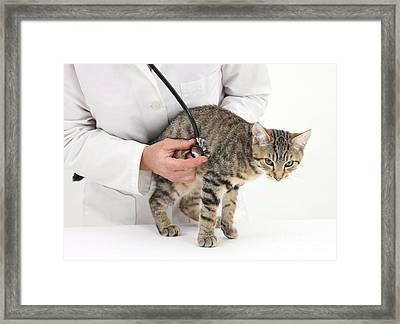 Vet Listening To Heart Of Kitten Framed Print