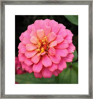 Vibrant Pink Zinna Framed Print by Bruce Bley