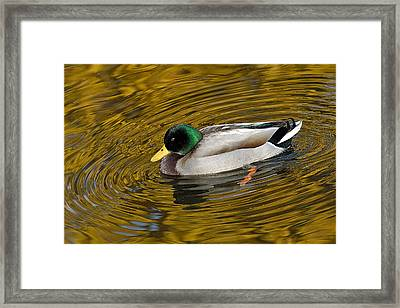 Vibrating Mallard Framed Print by Howard Knauer