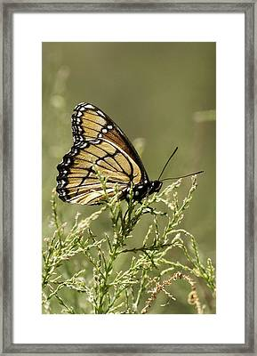 Framed Print featuring the photograph Viceroy Butterfly by Betty Depee