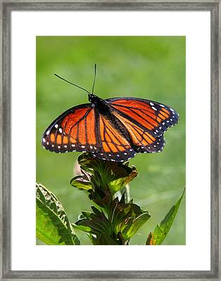 Viceroy Butterfly Number Two Framed Print by Paula Tohline Calhoun