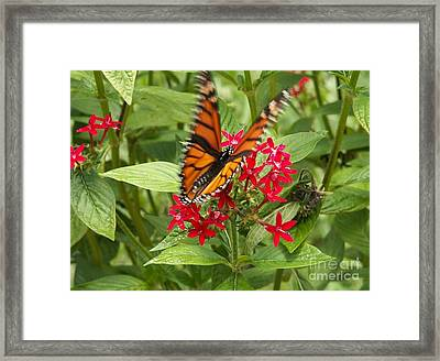 Viceroy Butterfly On Pentas Framed Print by Theresa Willingham