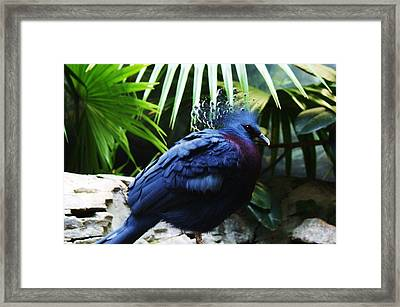 Victoria Crowned Pigeon Framed Print by Paulette Thomas