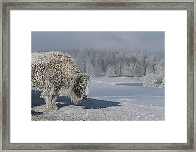 View Of An Ice-encrusted American Bison Framed Print by Tom Murphy