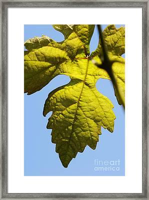 Vine Leaf Against Blue Sky Framed Print by Sami Sarkis