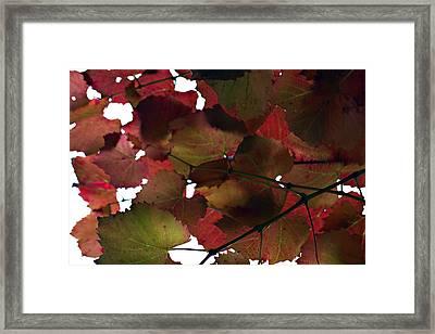 Vine Leaves Framed Print by Douglas Barnard